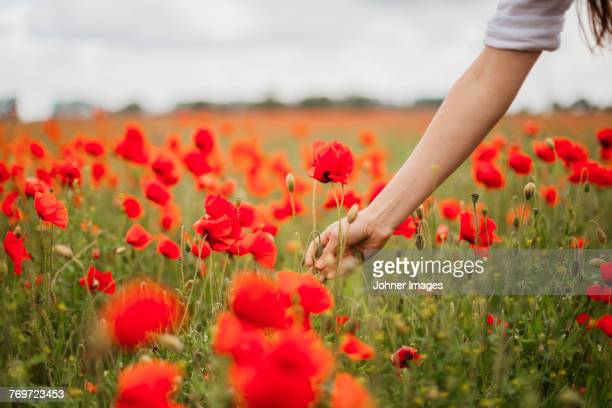 woman picking poppy - poppy stock pictures, royalty-free photos & images