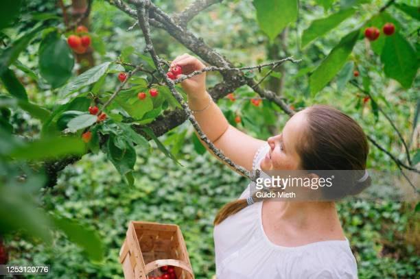 woman picking red cherry from tree in garden. - guido mieth stock pictures, royalty-free photos & images