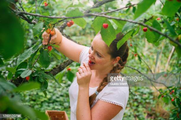 woman picking red cherry in a tree in garden. - guido mieth stock pictures, royalty-free photos & images