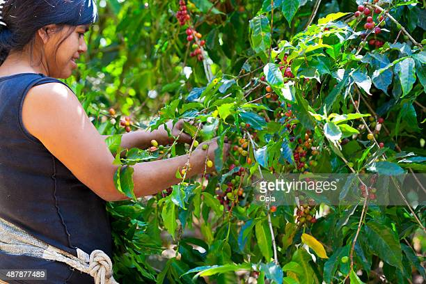 woman picking ripe coffee berries - guatemala stock pictures, royalty-free photos & images