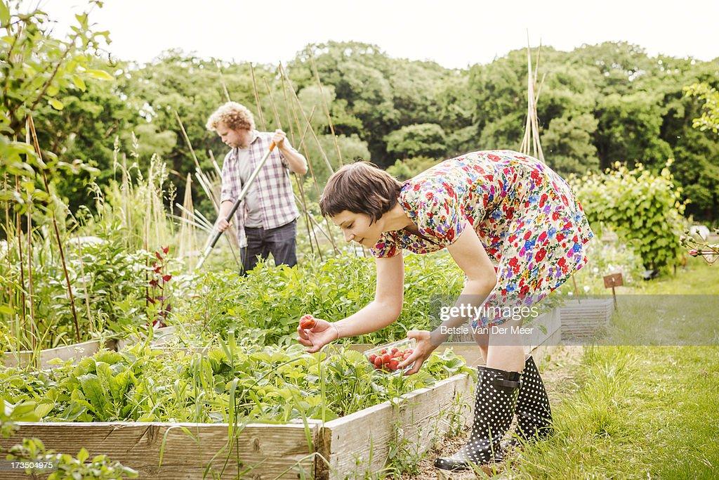 Woman picking strawberries, man racking. : Stock Photo