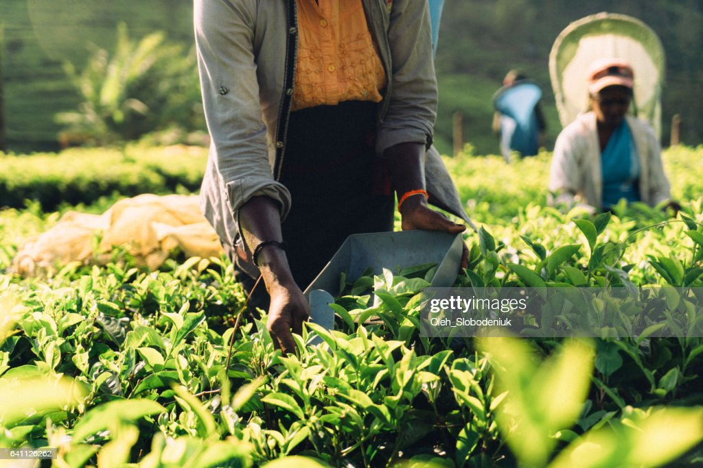 Woman picking tea in Sri Lanka : Stock Photo