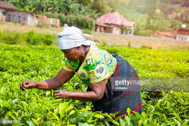 Woman Picking tea leaves in Rwanda