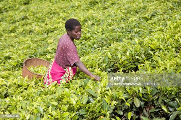 Woman picking tea on plantation, Masango, Cibitoke, Burundi, Africa