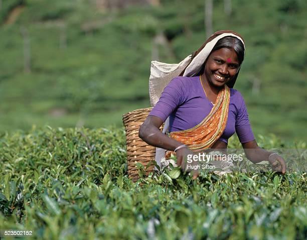 woman picking tea on plantation, sri lanka - hugh sitton photos et images de collection