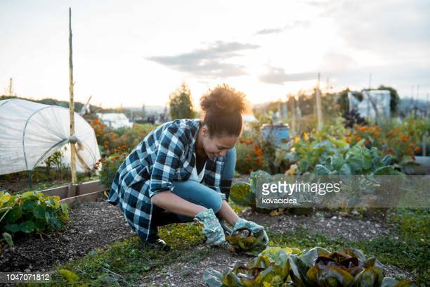 woman picking the lettuce from her garden - black glove stock pictures, royalty-free photos & images