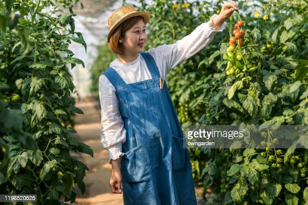 woman picking tomato at vegetable garden - bib overalls stock pictures, royalty-free photos & images