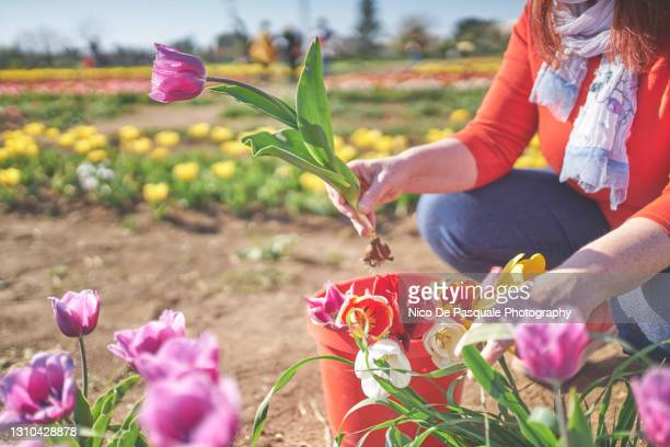 woman picking up flowers - north holland stock pictures, royalty-free photos & images