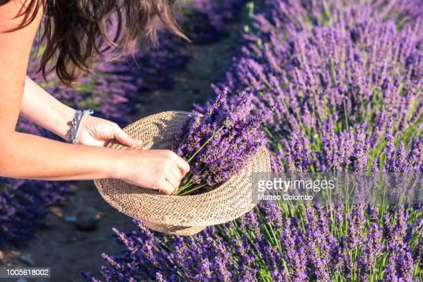 woman picking up lavender flowers, close up - lavande photos et images de collection