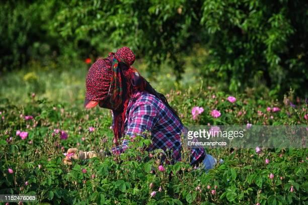 woman picking up roses in the field,i̇sparta. - emreturanphoto stock-fotos und bilder