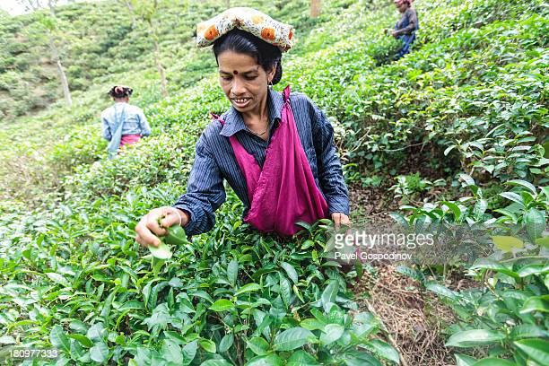 Woman picking up tea leaves on tea plantation near Sreemangal , Division of Sylhet, Bangladesh, Indian Sub-Continent, Asia. Sreemangal , The Tea...