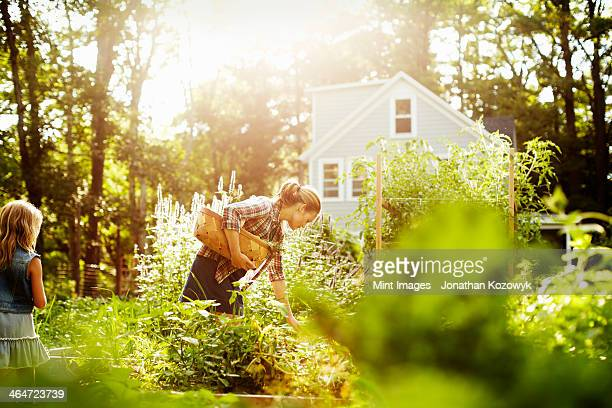 a woman picking vegetables in a garden at the end of the day. a child walking through tall plants. - farmhouse stock pictures, royalty-free photos & images