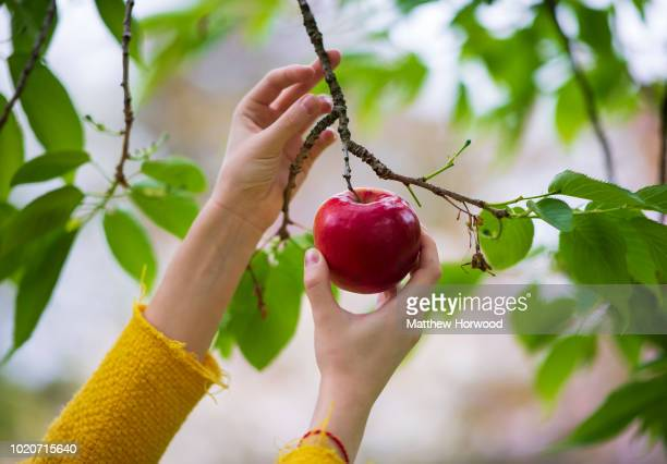 A woman picks a red apple from a tree on May 04 2018 in Cardiff United Kingdom