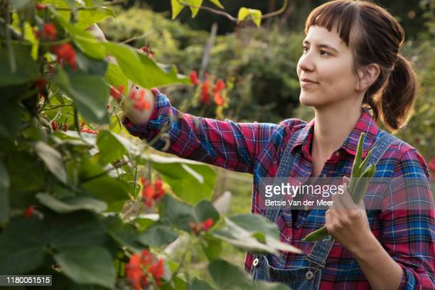 woman picks broad beans from plant at allotment - care stock pictures, royalty-free photos & images