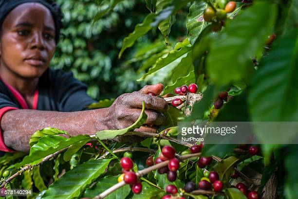 A woman picks ripe cherries of coffee at the plantation of Mubuyu Farm Zambia This method of harvesting by hands called selective picking More than...