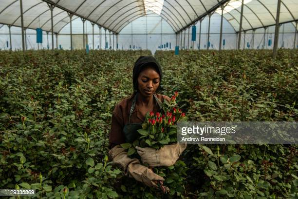 A woman picks roses inside a greenhouse at Wildfire Flowers on February 13 2019 in Naivasha Kenya Kenya is the lead thirdcountry supplier of roses to...