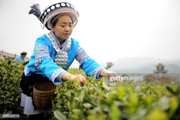 A woman picks tea leaves at Niaowang Village on March 17 2018 in Qiannan Buyei and Miao Autonomous Prefecture Guizhou Province of China