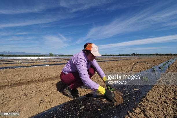 A woman plant the plants during the cultivation stages of vegetables and fruit in preparation for the summer harvest in southern Italy