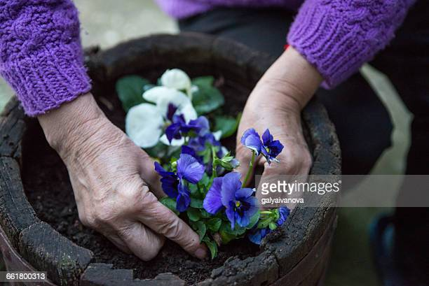 woman planting a pansy flower - pansy stock pictures, royalty-free photos & images