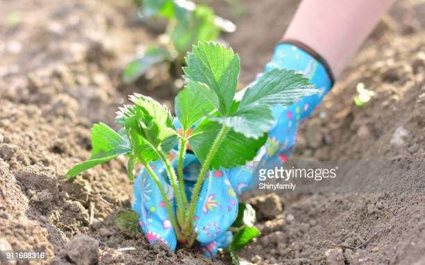 Woman planting a strawberry seedling