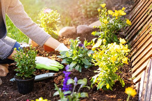 woman planting flowers in backyard garden flowerbed 964395046