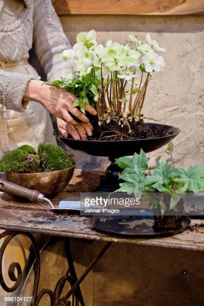 woman planting flowers in pot - ヘレボルス ストックフォトと画像