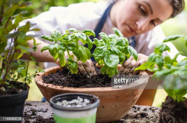 woman planting herbs - basil stock pictures, royalty-free photos & images