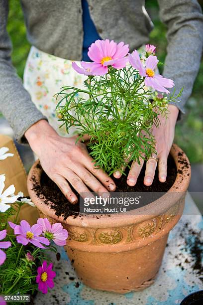 Woman planting in pots, Sweden.