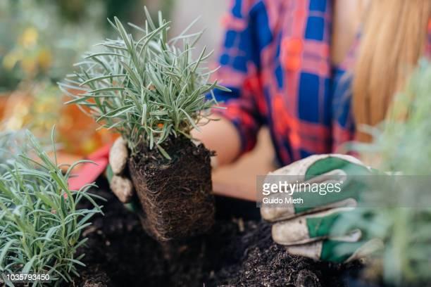 Woman planting lavender.
