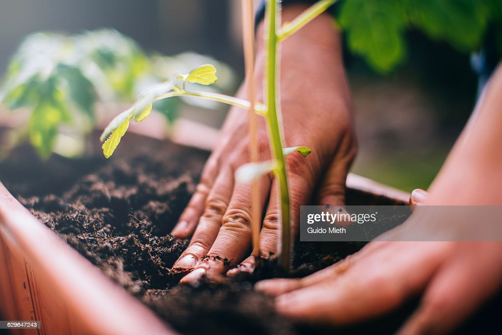 Woman planting. : Stock-Foto