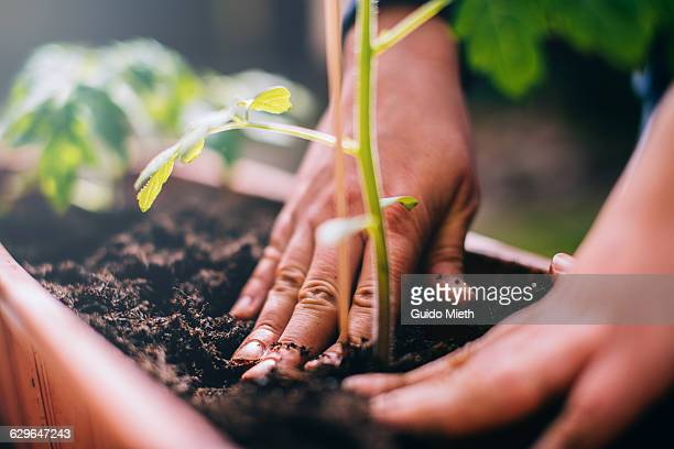 woman planting. - sustainability stock photos and pictures