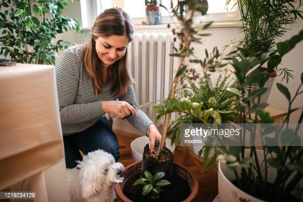 woman planting while maltese dog is besides her - arrangement stock pictures, royalty-free photos & images