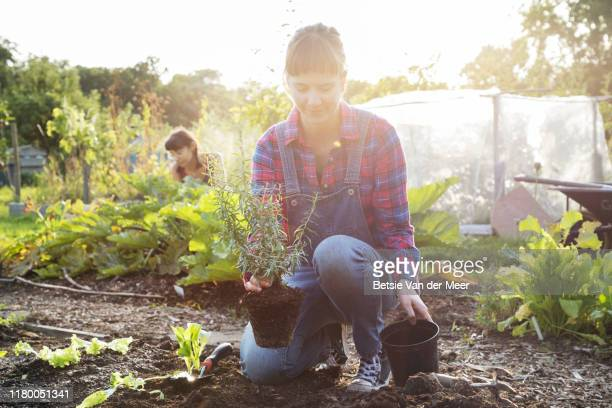 woman plants herb plant into soil in allotment. - social issues stock pictures, royalty-free photos & images