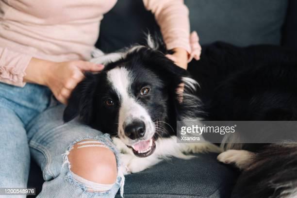 mujer jugando con su perro en casa - border collie fotografías e imágenes de stock