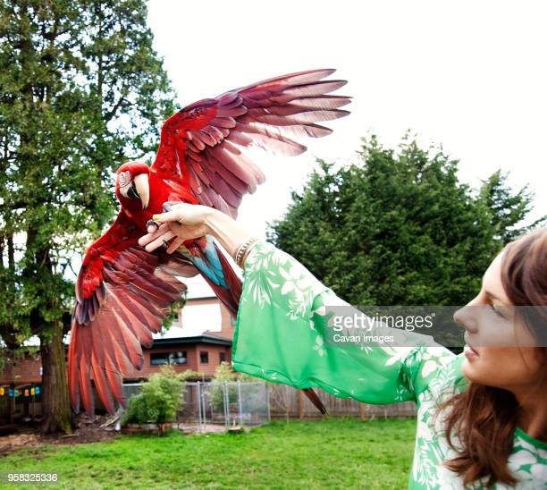 woman playing with scarlet macaw on field - scarlet macaw stock pictures, royalty-free photos & images