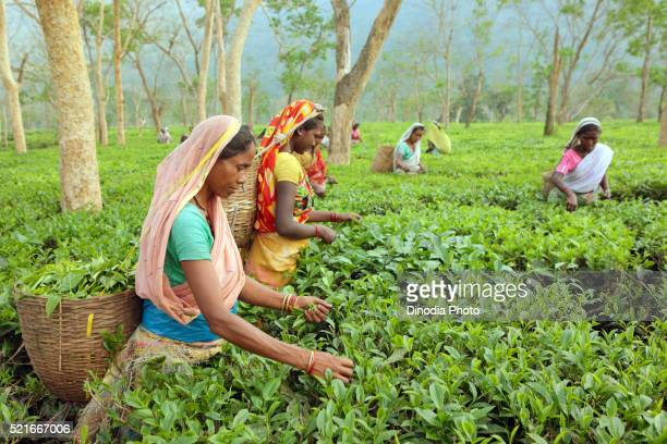Woman plucking leaves from tea garden, Assam, India
