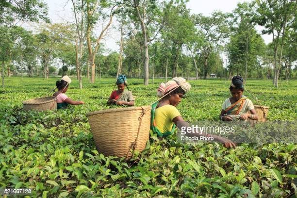 woman plucking leaves from tea garden, assam, india - grounds stock pictures, royalty-free photos & images
