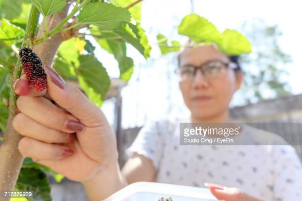 Woman Plucking Mulberry From Bush In Yard