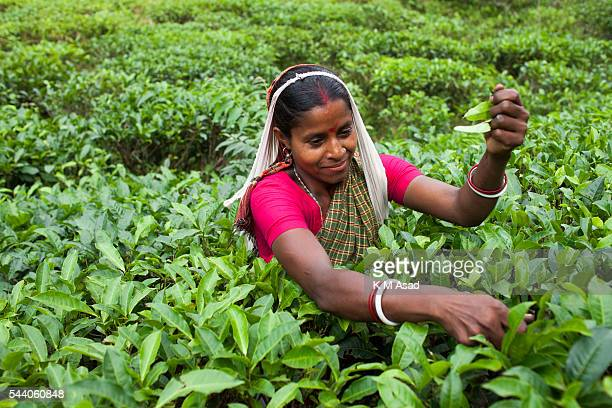 SRIMONGOL SYLHET DHAKA BANGLADESH Woman plucking tea leaves from a tea garden Tea Plucking is a specialized skill Two leaves and a bud need to be...