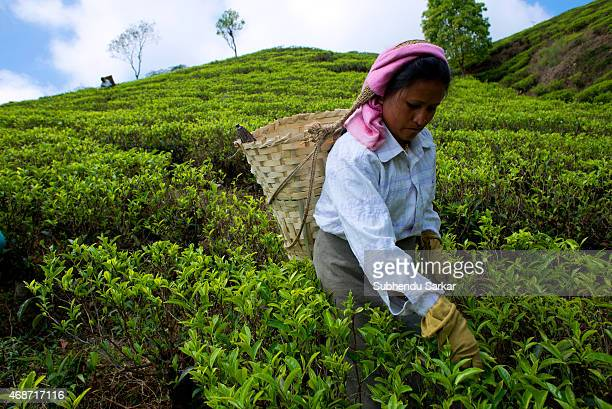 A woman plucks tea leaves at Makibari tea garden Set up in 1859 off Kurseong in the Darjeeling hills the Makaibari estate is the worlds first tea...