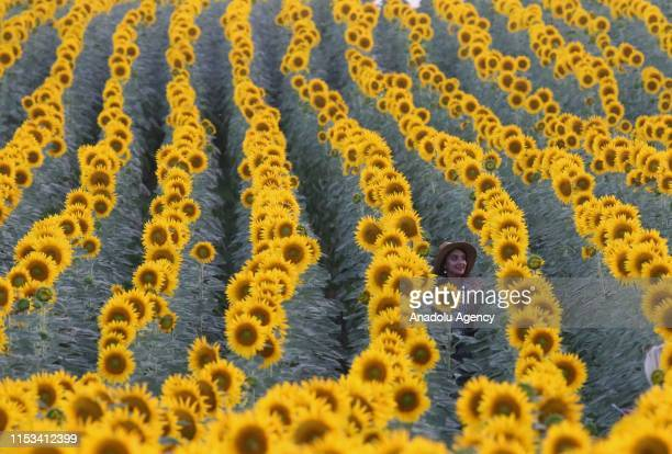 A woman poses for a photo at the sunflower field in Edirne Turkey on July 2 2019