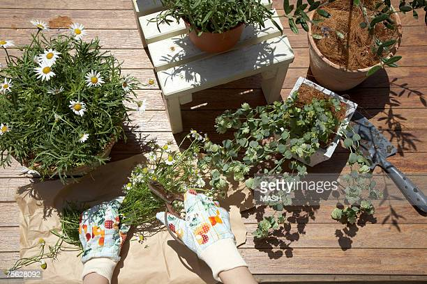 Woman potting plants on table, close-up of hands, overhead view
