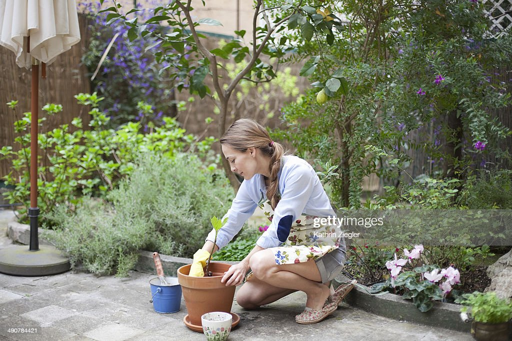 woman potting small fig tree : Stock Photo