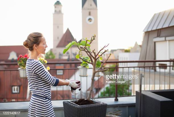 woman potting young fig tree in planter on terrace, holding soil in hands - fig tree stock pictures, royalty-free photos & images