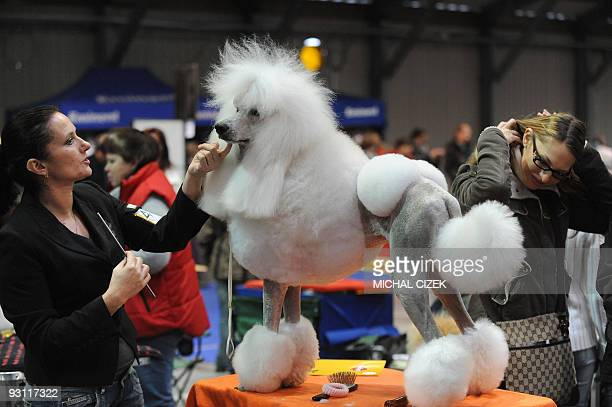 A woman prepares her big white poodle during the XVIIIth International Dog exhibition on November 8 2009 in Prague AFP PHOTO/ MICHAL CIZEK