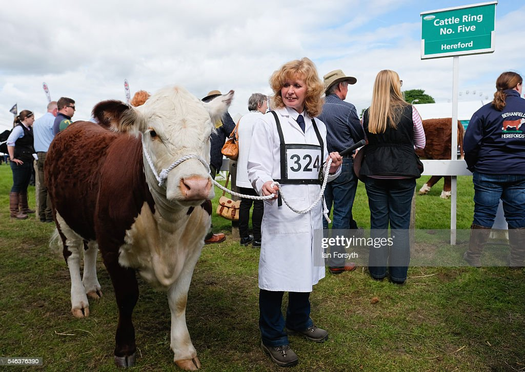 A woman prepares to lead her Hereford cow into the arena at the Great Yorkshire Show on July 12, 2016 in Harrogate, England. The annual Great Yorkshire Show now in its 158th year is the UK's premier agricultural event and brings together agricultural displays, livestock events, farming demonstrations, food, dairy and produce stands as well as equestrian events to the thousands of visitors who attend the popular show over three days to celebrate the farming and agricultural community and their way of life.