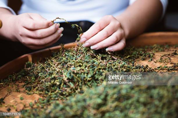 woman preparing tea leaves, shanghai, china - dried tea leaves stock pictures, royalty-free photos & images