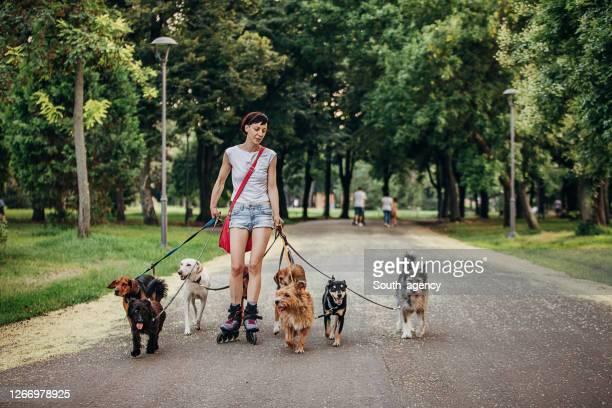 mujer caminante de perro profesional ejercitando perros en el parque - grupo mediano de animales fotografías e imágenes de stock
