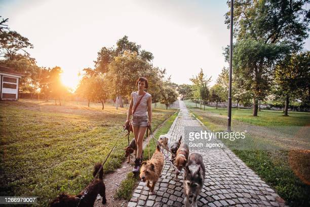 mujer caminante de perro profesional con perros en el parque - grupo mediano de animales fotografías e imágenes de stock