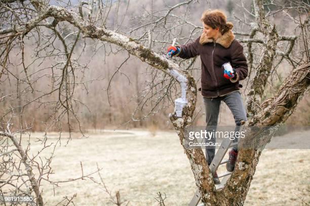 frau schutz beschnitten apple ast mit wunde farbe - obstbaum stock-fotos und bilder